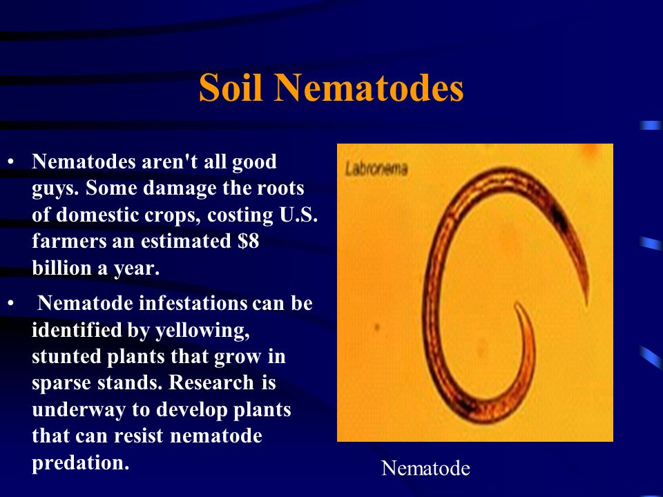 Soil Nematodes Nematodes aren't all good guys. Some damage the roots of domestic crops, costing U.S. farmers an estimated $8 billion a year. Nematode
