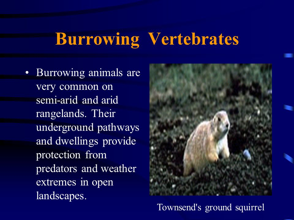Burrowing Vertebrates Burrowing animals are very common on semi-arid and arid rangelands. Their underground pathways and dwellings provide protection