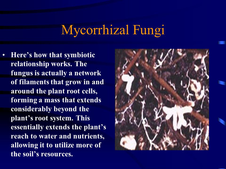 Mycorrhizal Fungi Heres how that symbiotic relationship works. The fungus is actually a network of filaments that grow in and around the plant root ce