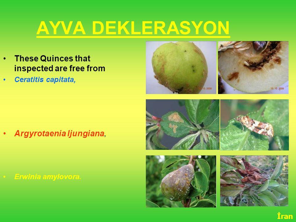 AYVA DEKLERASYON These Quinces that inspected are free from Ceratitis capitata, Argyrotaenia ljungiana, Erwinia amylovora. İran