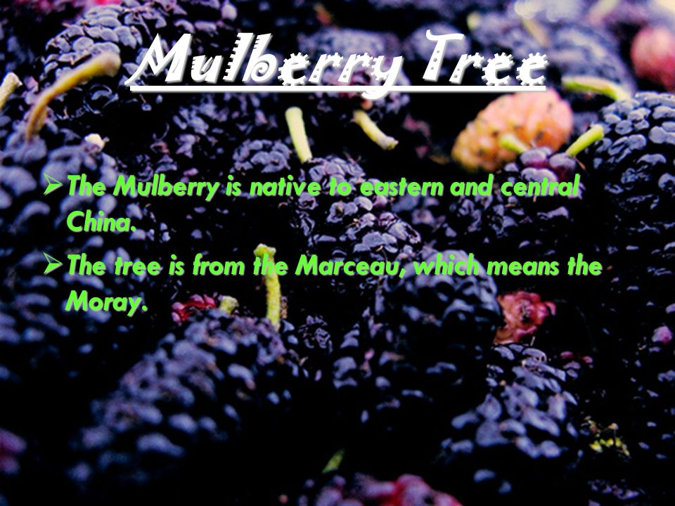 The Mulberry is native to eastern and central China.