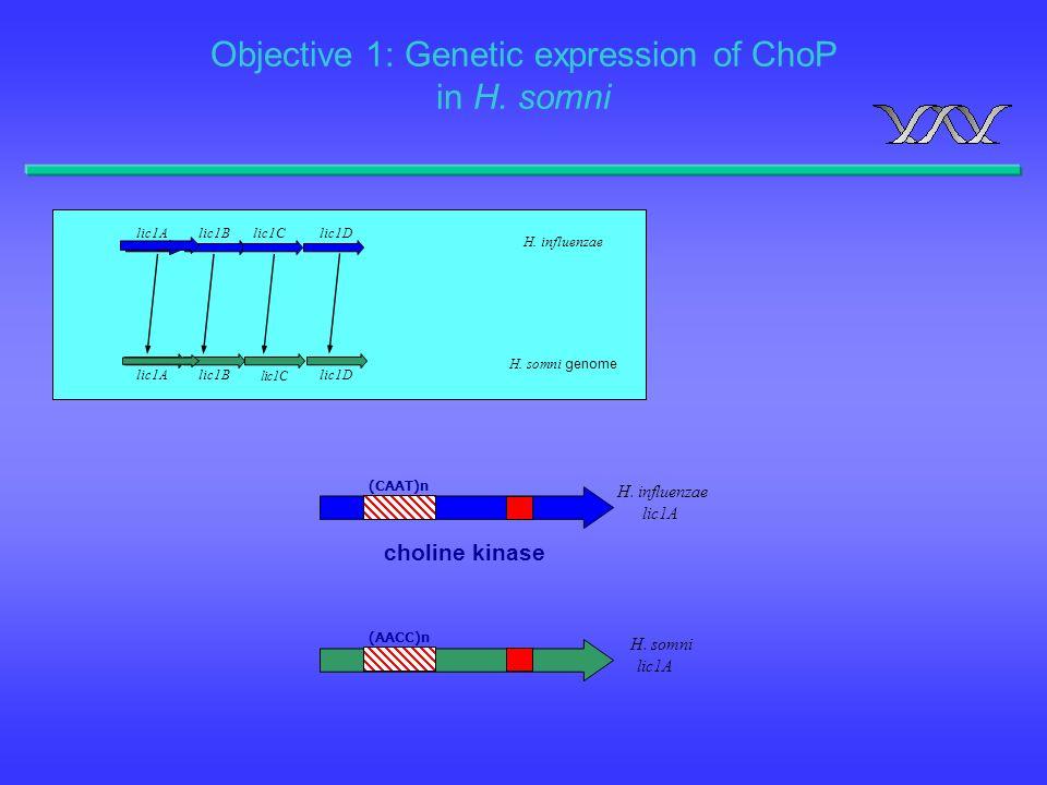 H. influenzae lic1A (CAAT)n H. influenzae H. somni genome lic1Alic1Blic1Clic1D lic1A lic1C lic1Dlic1B choline kinase H. somni lic1A Objective 1: Genet