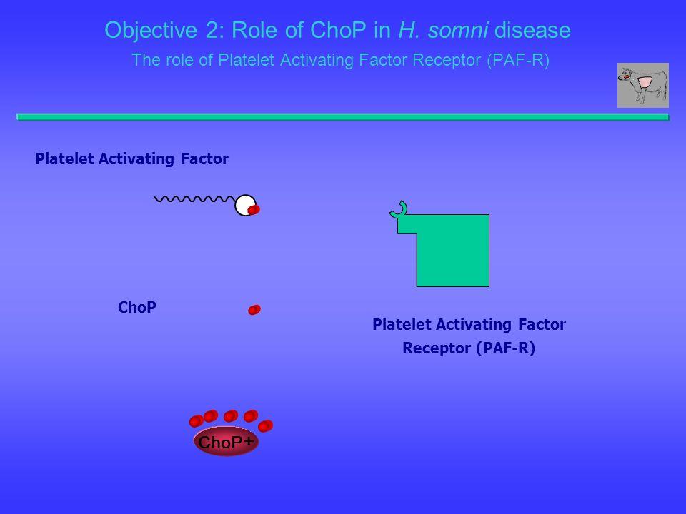 Platelet Activating Factor Receptor (PAF-R) Platelet Activating Factor ChoP ChoP + Objective 2: Role of ChoP in H. somni disease The role of Platelet