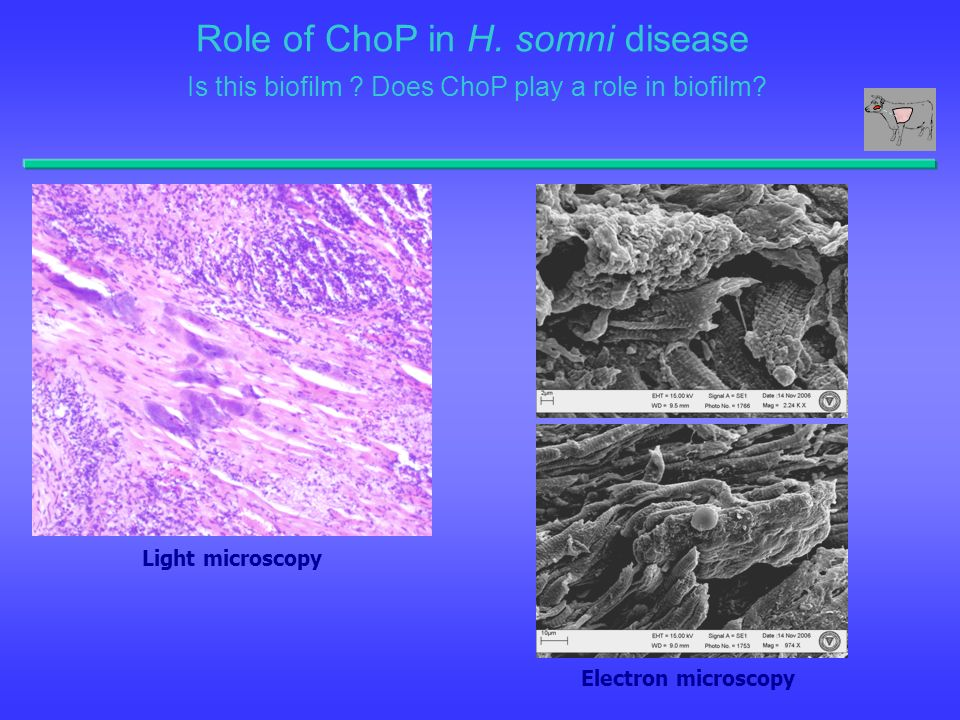Role of ChoP in H. somni disease Is this biofilm ? Does ChoP play a role in biofilm? Light microscopy Electron microscopy