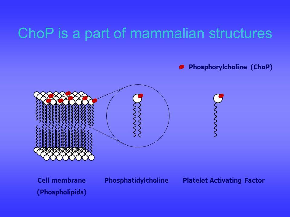 ChoP is a part of mammalian structures Cell membrane (Phospholipids) PhosphatidylcholinePlatelet Activating Factor Phosphorylcholine (ChoP)