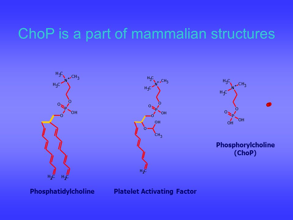 ChoP is a part of mammalian structures PhosphatidylcholinePlatelet Activating Factor Phosphorylcholine (ChoP) OH CH 3 O O OH O P O CH 3 CH 3 CH 3 N +