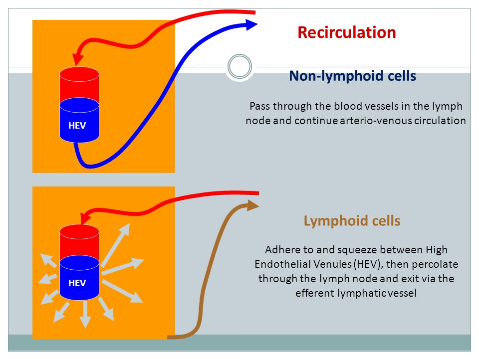 HEV Blood enters lymph node via the artery Post capillary venules in the paracortex have cuboidal endothelial cells HIGH ENDOTHELIAL VENULES - specialised properties to allow lymphocytes and nothing else into the lymph node High Endothelial Venules