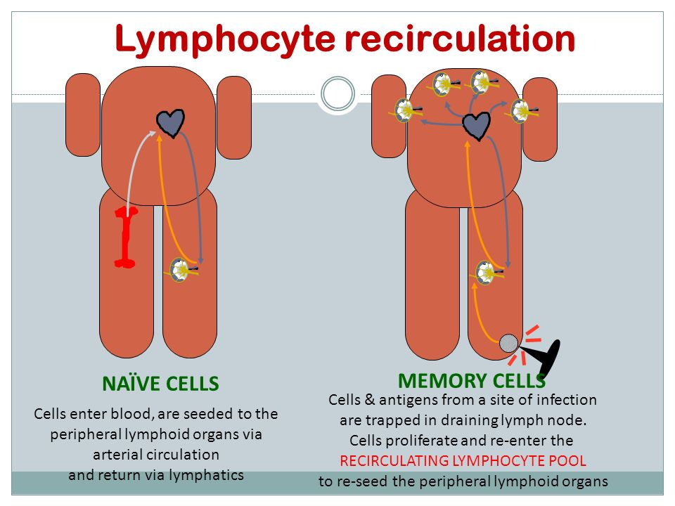 Non-lymphoid cells Pass through the blood vessels in the lymph node and continue arterio-venous circulation Recirculation HEV Lymphoid cells Adhere to and squeeze between High Endothelial Venules (HEV), then percolate through the lymph node and exit via the efferent lymphatic vessel