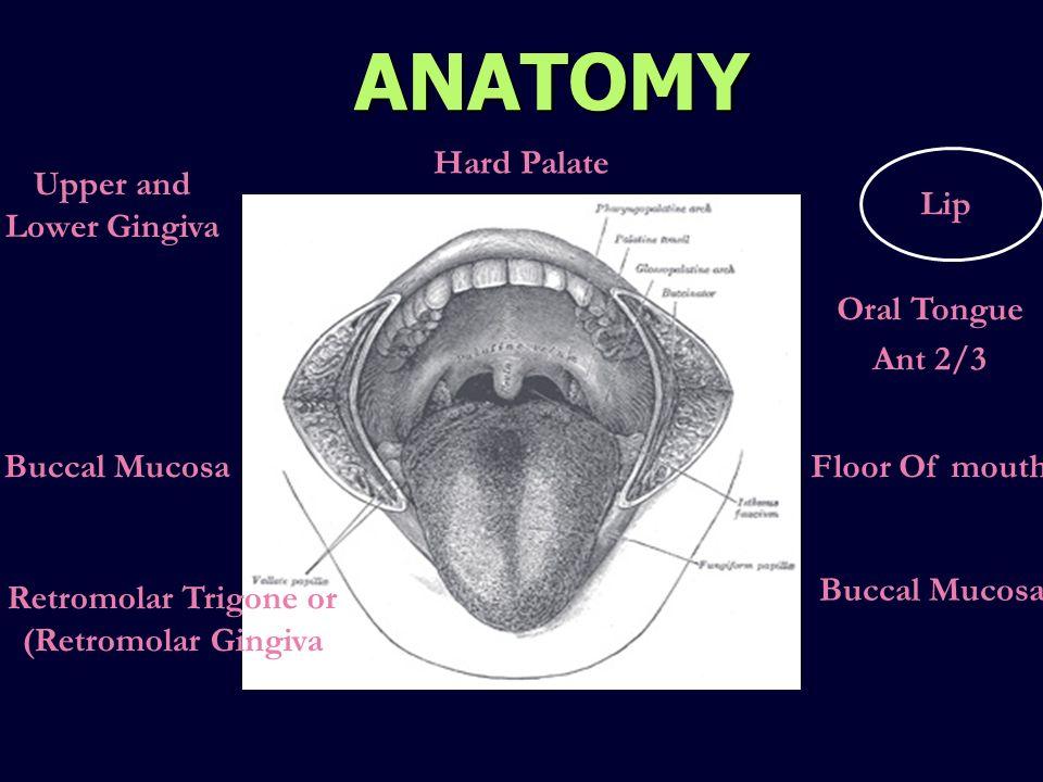 ANATOMY Lip Oral Tongue Ant 2/3 Floor Of mouth Buccal Mucosa Upper and Lower Gingiva Buccal Mucosa Retromolar Trigone or (Retromolar Gingiva Hard Pala