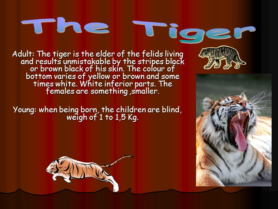 Adult: The tiger is the elder of the felids living and results unmistakable by the stripes black or brown black of his skin. The colour of bottom vari