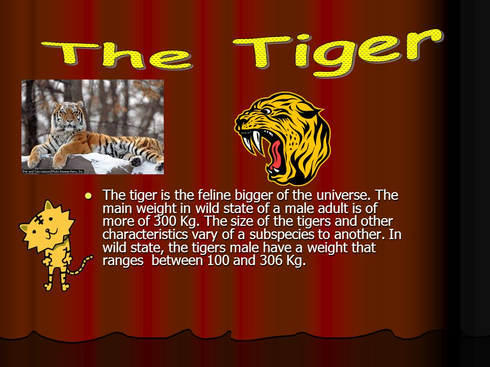 The tiger is the feline bigger of the universe. The main weight in wild state of a male adult is of more of 300 Kg. The size of the tigers and other c