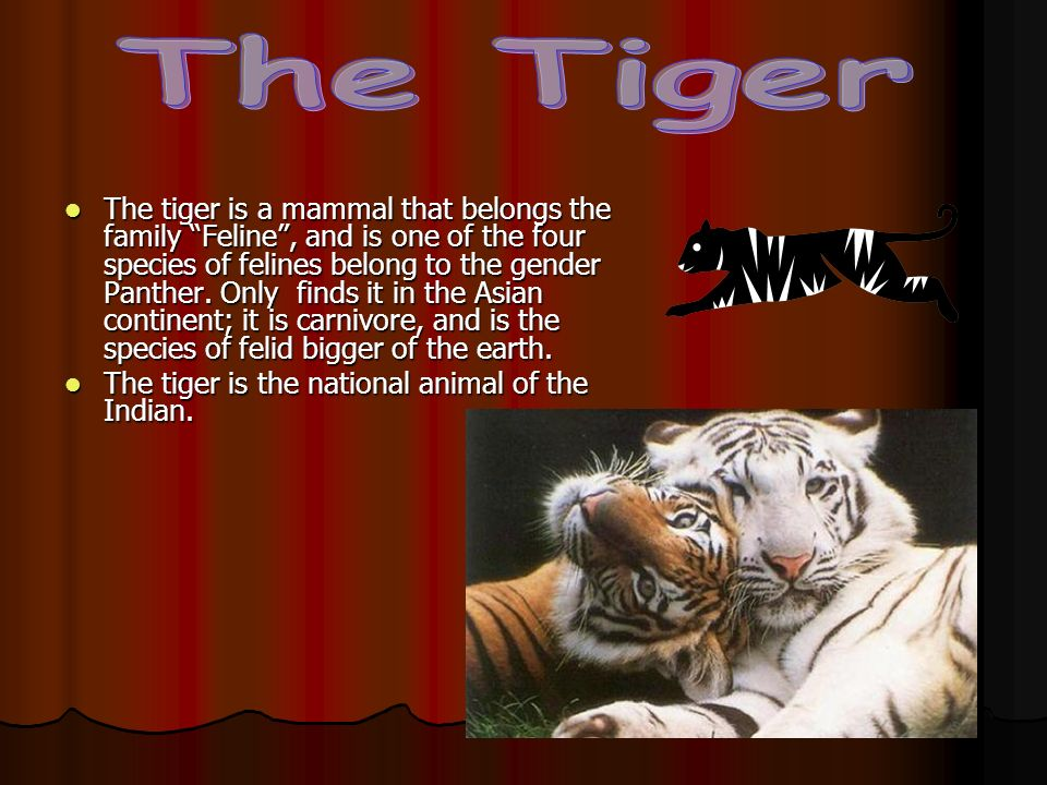 The tiger is a mammal that belongs the family Feline, and is one of the four species of felines belong to the gender Panther. Only finds it in the Asi