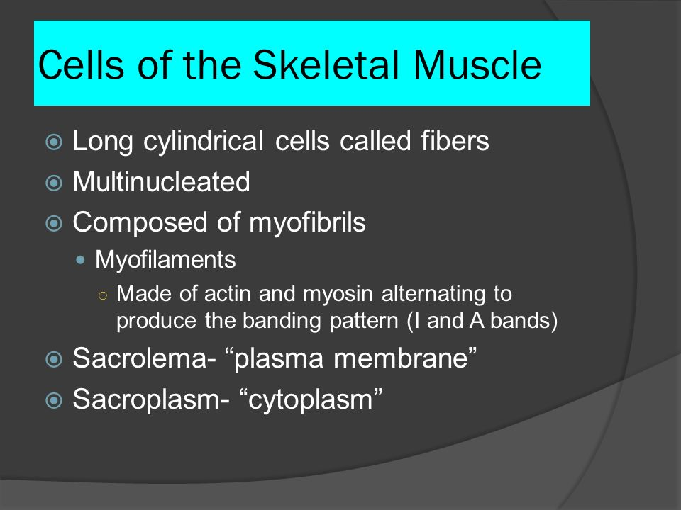 Cells of the Skeletal Muscle Long cylindrical cells called fibers Multinucleated Composed of myofibrils Myofilaments Made of actin and myosin alternat