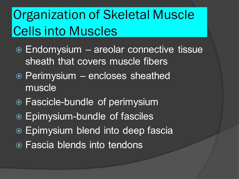 Organization of Skeletal Muscle Cells into Muscles Endomysium – areolar connective tissue sheath that covers muscle fibers Perimysium – encloses sheat