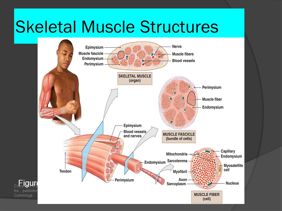 Copyright © 2009 Pearson Education, Inc., publishing as Pearson Benjamin Cummings Skeletal Muscle Structures Figure 10–1 The Organization of Skeletal