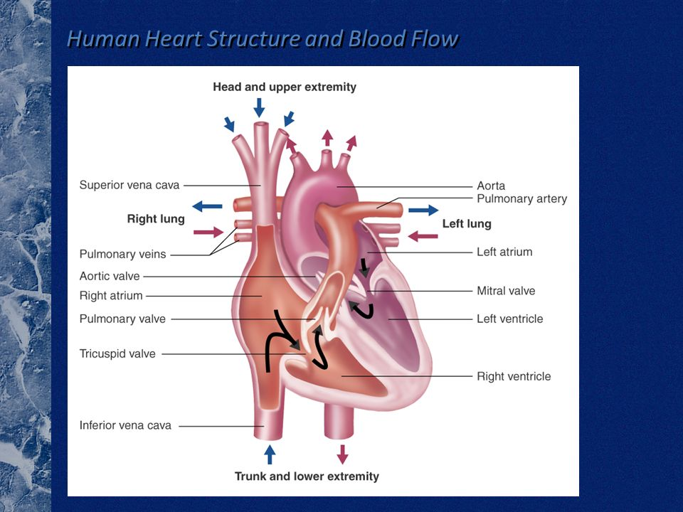 Human Heart Structure and Blood Flow