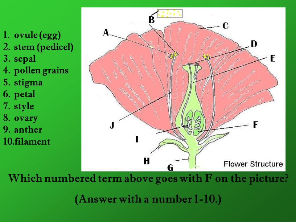 Which numbered term above goes with F on the picture? (Answer with a number 1-10.) 1.ovule (egg) 2.stem (pedicel) 3.sepal 4.pollen grains 5.stigma 6.p