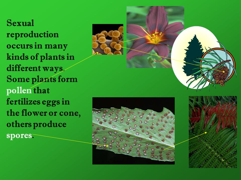 Sexual reproduction occurs in many kinds of plants in different ways. Some plants form pollen that fertilizes eggs in the flower or cone, others produ