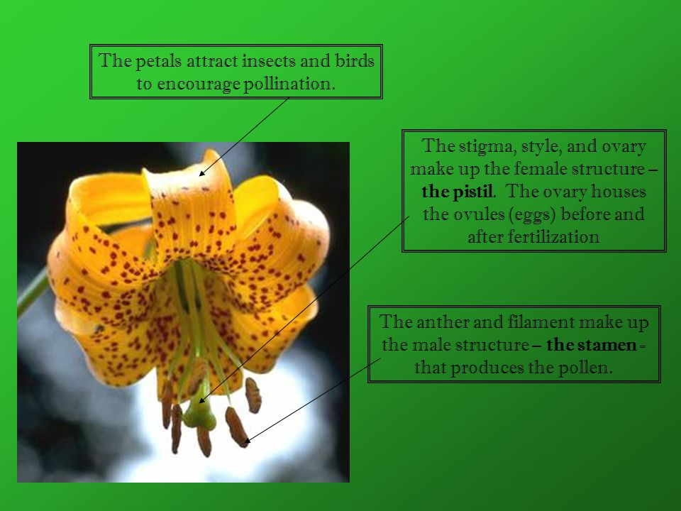 The petals attract insects and birds to encourage pollination. The stigma, style, and ovary make up the female structure – the pistil. The ovary house