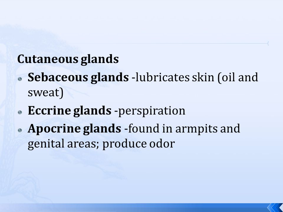 Cutaneous glands Sebaceous glands -lubricates skin (oil and sweat) Eccrine glands -perspiration Apocrine glands -found in armpits and genital areas; p