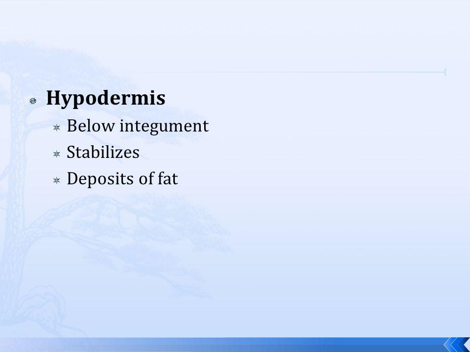 Hypodermis Below integument Stabilizes Deposits of fat