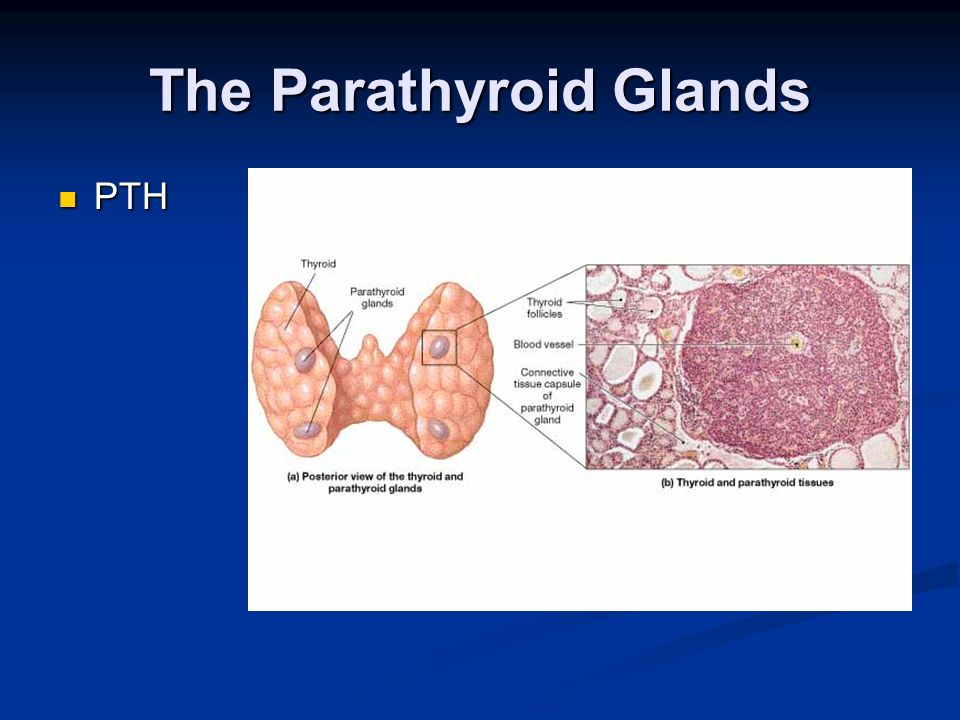 The Parathyroid Glands PTH PTH