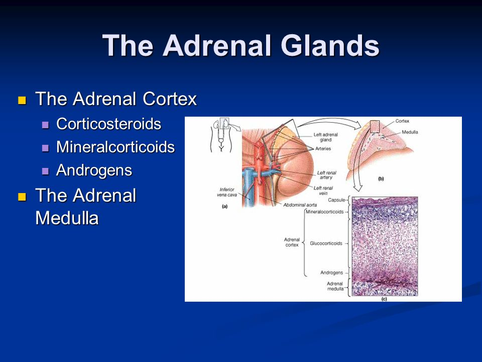 The Adrenal Glands The Adrenal Cortex The Adrenal Cortex Corticosteroids Corticosteroids Mineralcorticoids Mineralcorticoids Androgens Androgens The A