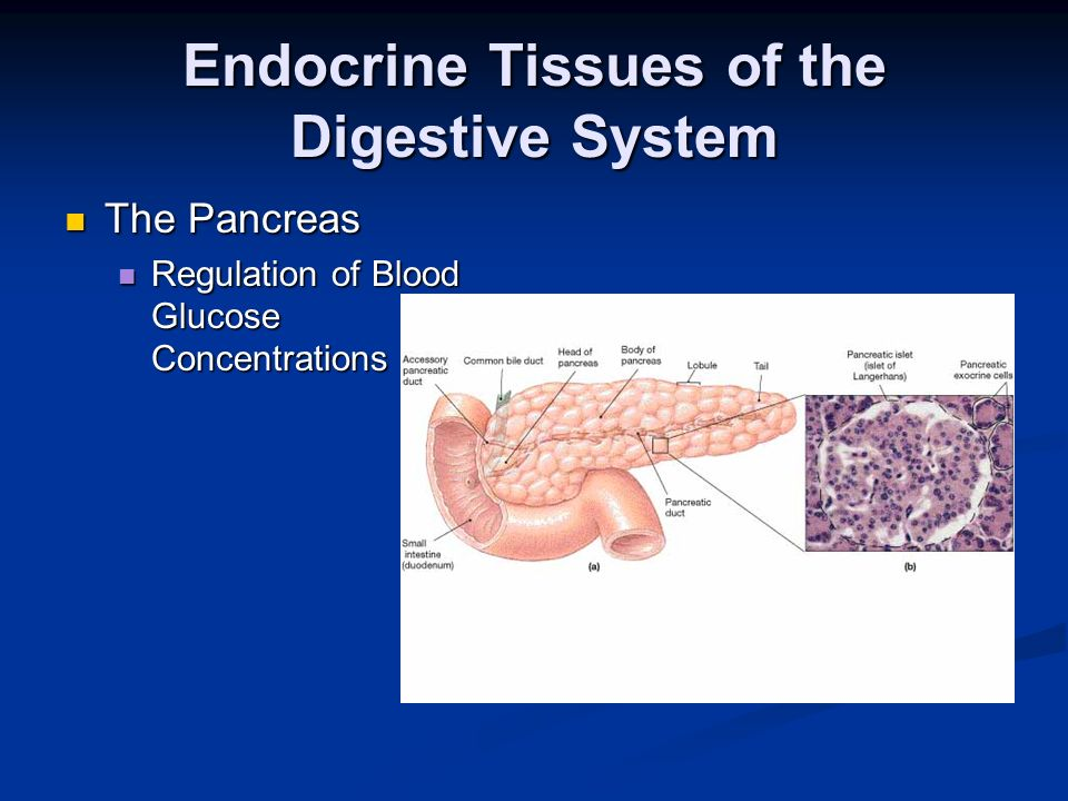 Endocrine Tissues of the Digestive System The Pancreas The Pancreas Regulation of Blood Glucose Concentrations Regulation of Blood Glucose Concentrati