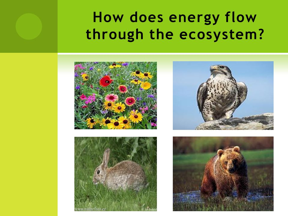How does energy flow through the ecosystem?