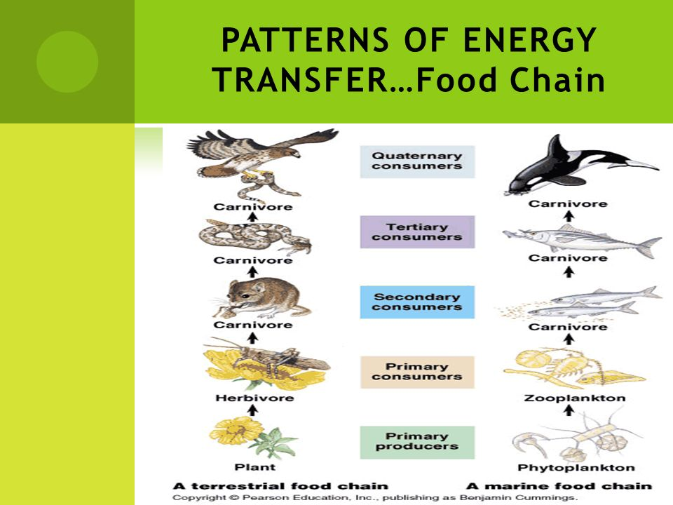PATTERNS OF ENERGY TRANSFER…Food Chain