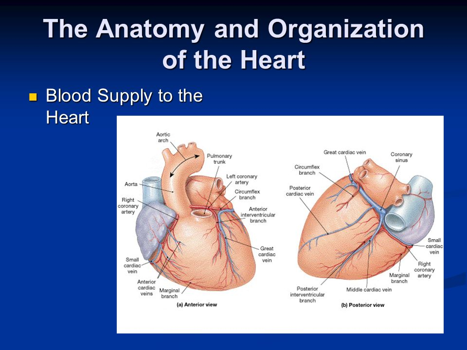 The Anatomy and Organization of the Heart Blood Supply to the Heart Blood Supply to the Heart