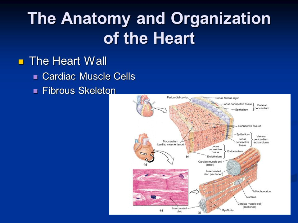The Anatomy and Organization of the Heart The Heart Wall The Heart Wall Cardiac Muscle Cells Cardiac Muscle Cells Fibrous Skeleton Fibrous Skeleton