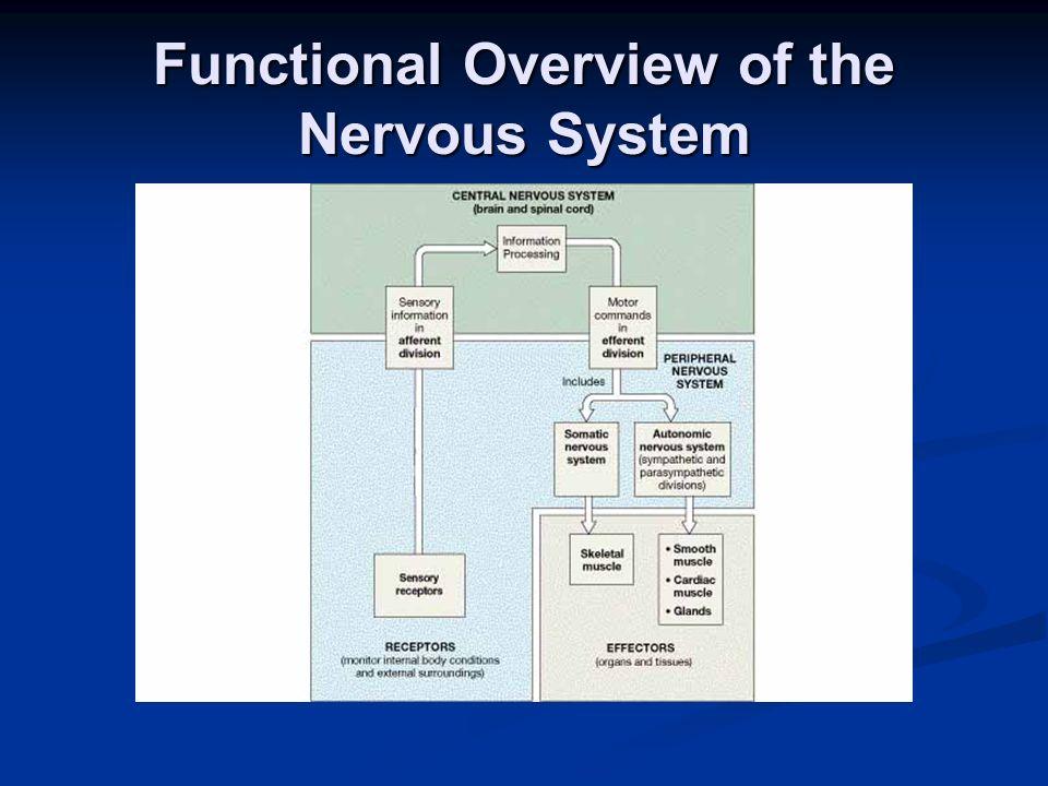 Anatomy of a Multipolar Neuron