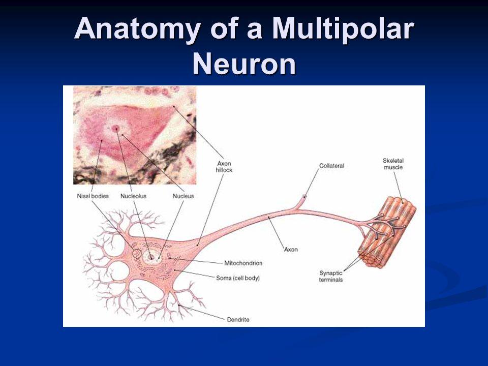 The Brain Cerebral Hemisphere Cerebral Hemisphere