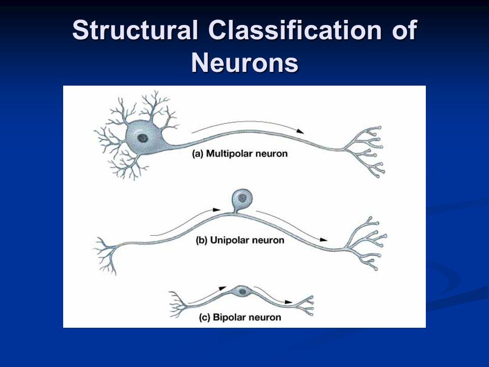 Neuroglia in the CNS