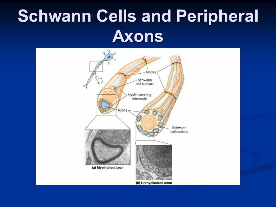 The Spinal Cord Gross Anatomy Gross Anatomy Sectional Anatomy Sectional Anatomy