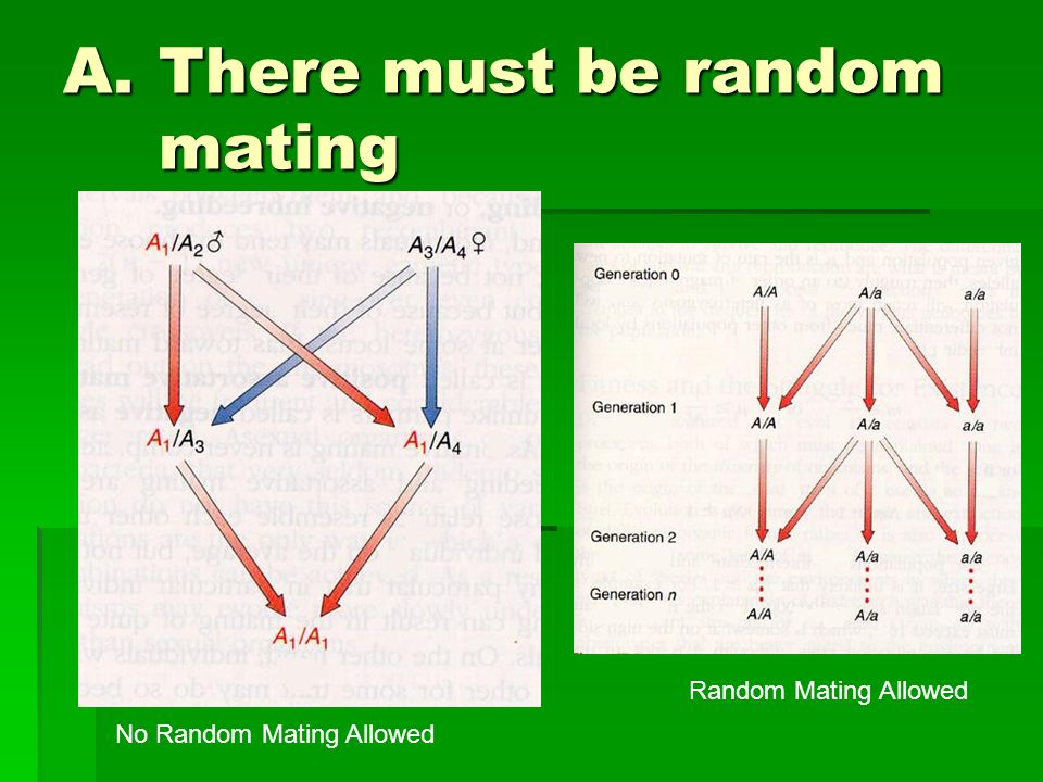 A.There must be random mating Random mating ensures that each organism has an equal chance to pass on its genetic information Random mating ensures th