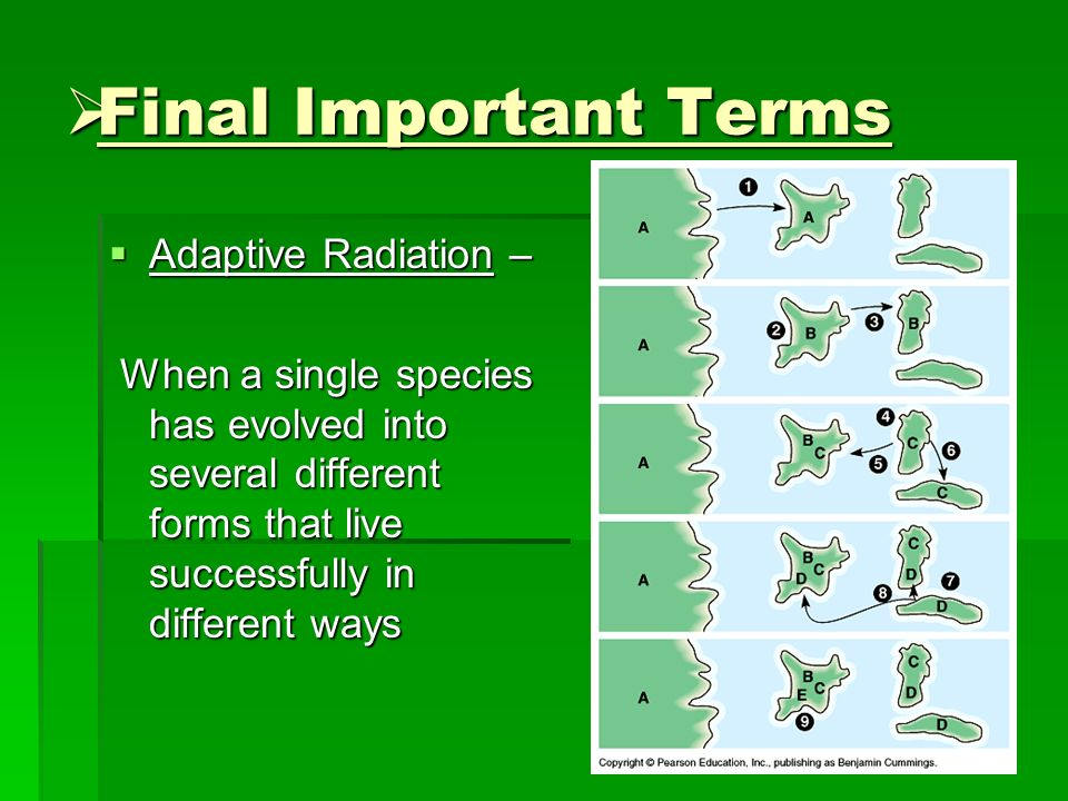 Final Important Terms Final Important Terms Adaptive Radiation – Adaptive Radiation – When a single species has evolved into several different forms t