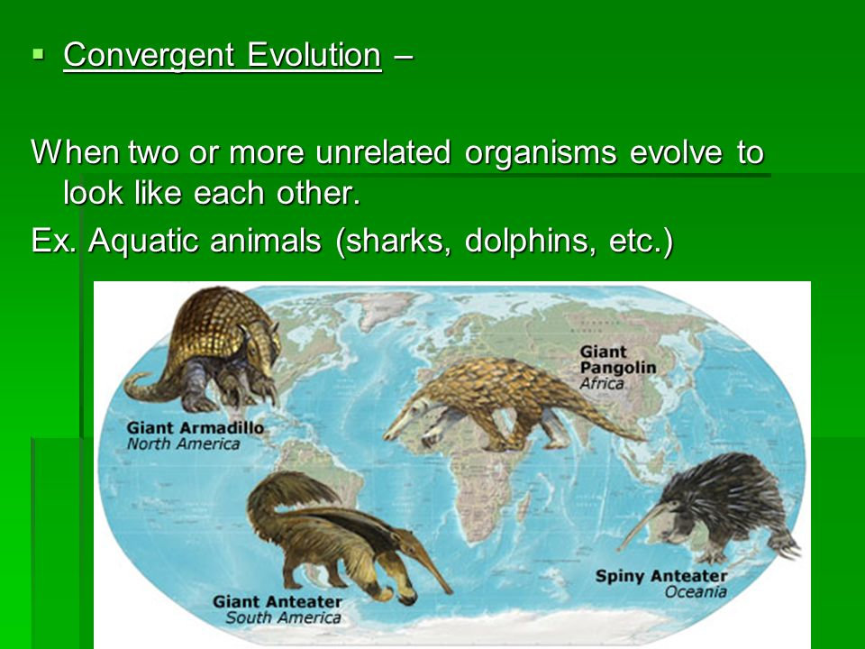 Convergent Evolution – Convergent Evolution – When two or more unrelated organisms evolve to look like each other. Ex. Aquatic animals (sharks, dolphi