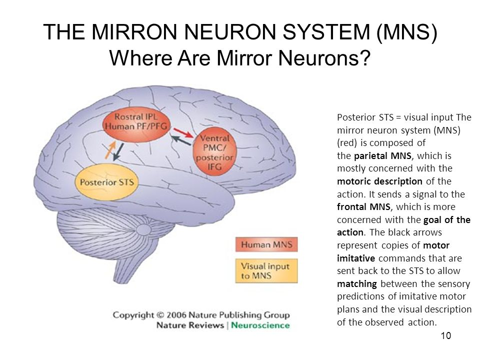 10 THE MIRRON NEURON SYSTEM (MNS) Where Are Mirror Neurons? Posterior STS = visual input The mirror neuron system (MNS) (red) is composed of the parie