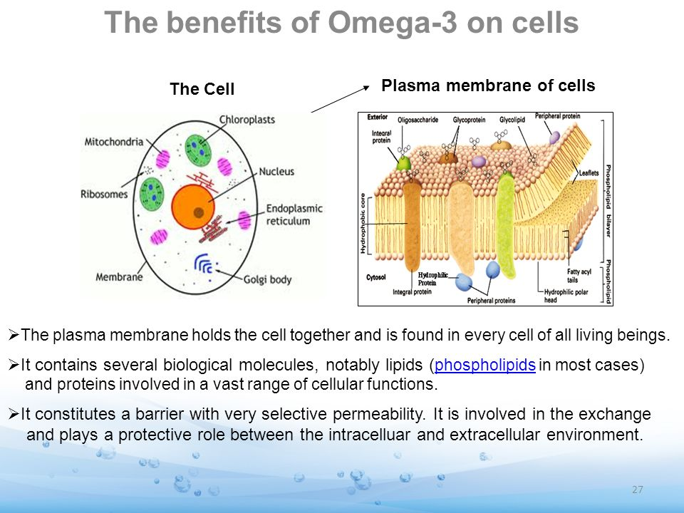 The benefits of Omega-3 on cells The plasma membrane holds the cell together and is found in every cell of all living beings. It contains several biol