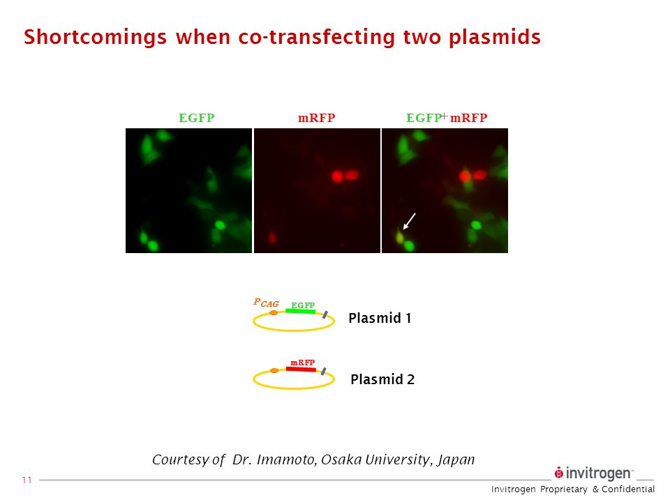 Invitrogen Proprietary & Confidential 11 Shortcomings when co-transfecting two plasmids Plasmid 2 Plasmid 1 EGFP P CAG mRFP EGFPmRFPEGFP mRFP Courtesy