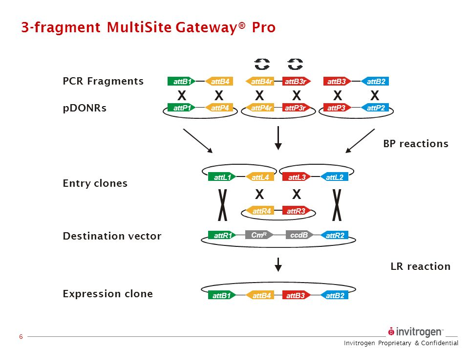 Invitrogen Proprietary & Confidential 6 3-fragment MultiSite Gateway® Pro XX attB2attB1attB3attB4 attL4attL1attL2attL3 attR2attR1 Entry clones Destina