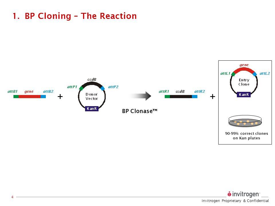Invitrogen Proprietary & Confidential 4 1.BP Cloning – The Reaction 90-99% correct clones on Kan plates ++ BP Clonase