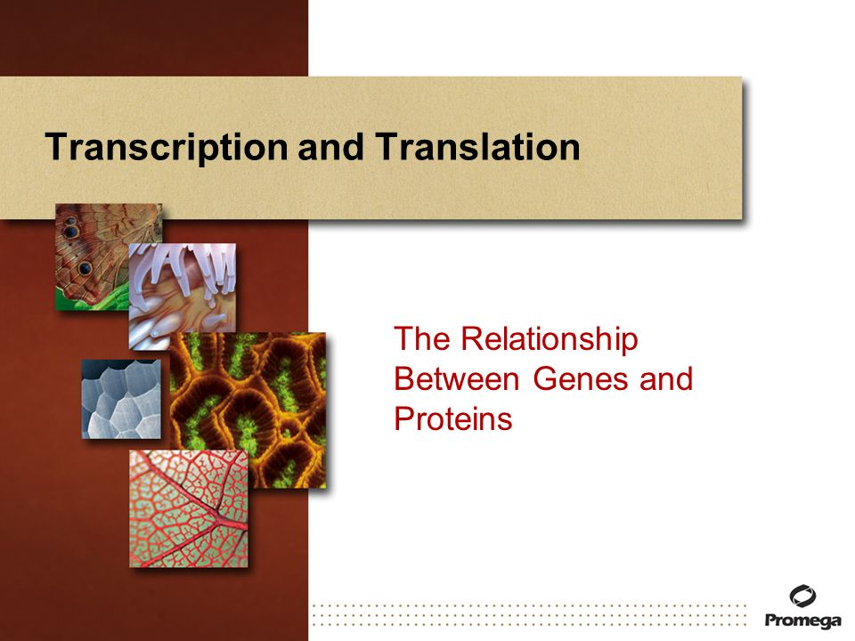 Transcription and Translation The Relationship Between Genes and Proteins