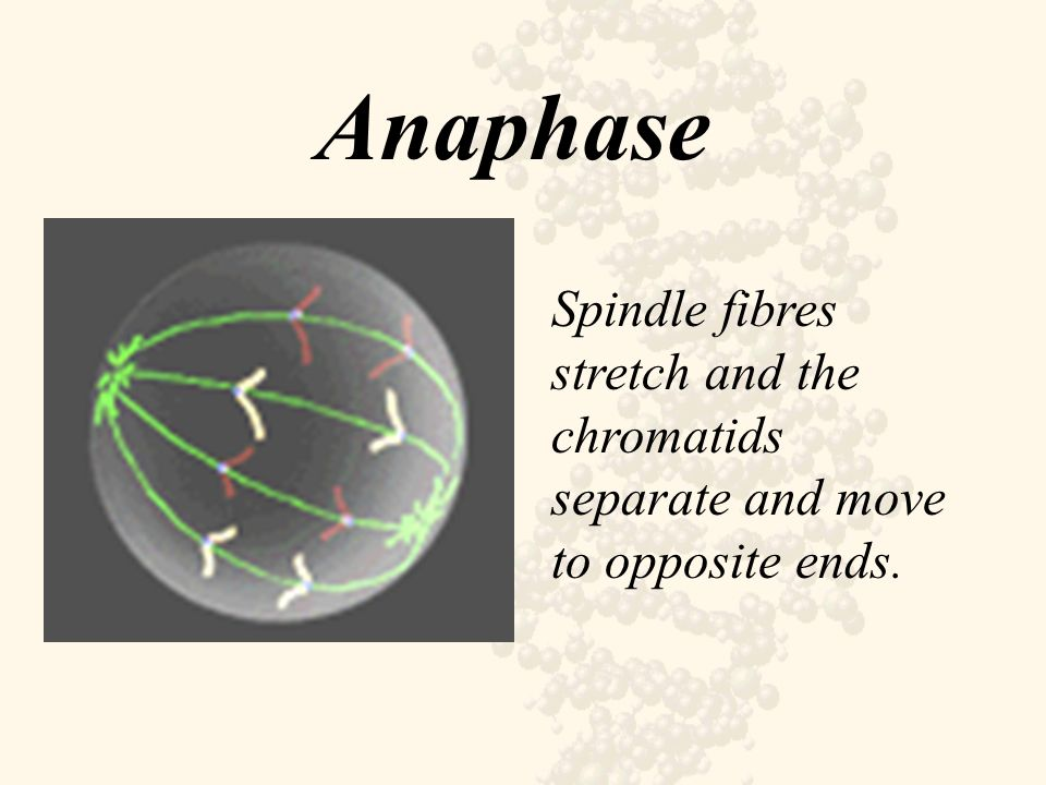 Anaphase Spindle fibres stretch and the chromatids separate and move to opposite ends.