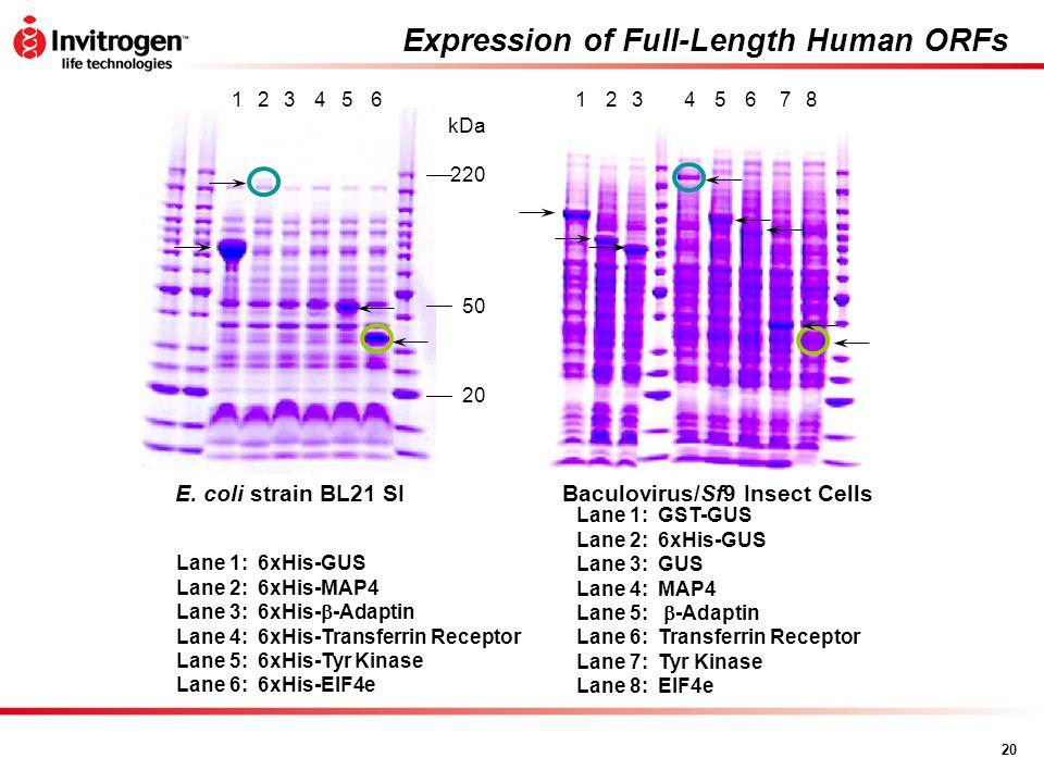 20 Expression of Full-Length Human ORFs Baculovirus/Sf9 Insect Cells 45678123 E. coli strain BL21 SI 20 50 220 123456 Lane 1: 6xHis-GUS Lane 2: 6xHis-