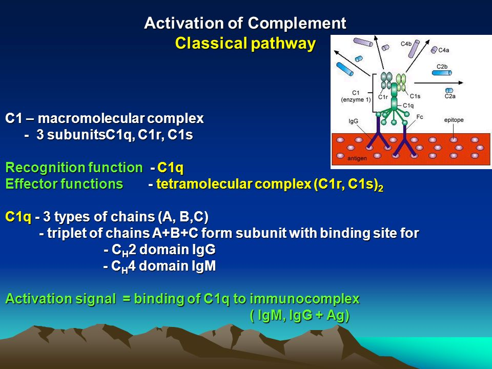 Activation of Complement Classical pathway C1 – macromolecular complex - 3 subunitsC1q, C1r, C1s - 3 subunitsC1q, C1r, C1s Recognition function - C1q Effector functions - tetramolecular complex (C1r, C1s) 2 C1q - 3 types of chains (A, B,C) - triplet of chains A+B+C form subunit with binding site for - triplet of chains A+B+C form subunit with binding site for - C H 2 domain IgG - C H 4 domain IgM - C H 4 domain IgM Activation signal = binding of C1q to immunocomplex ( IgM, IgG + Ag) ( IgM, IgG + Ag)