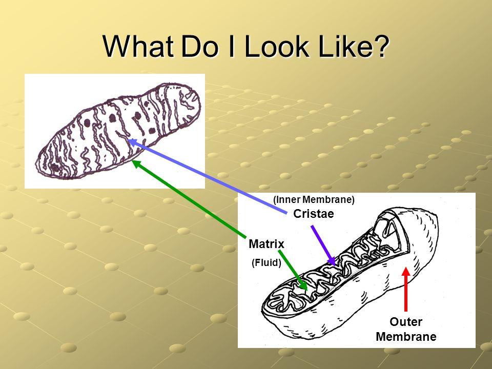 What Do I Look Like? (Inner Membrane) Cristae Outer Membrane Matrix (Fluid)
