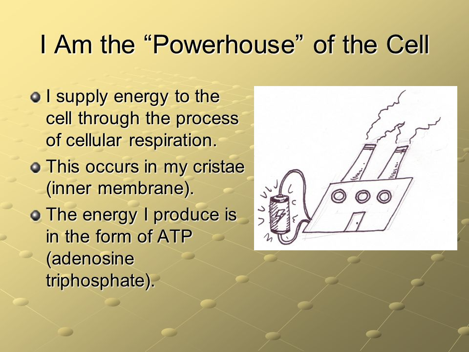 I Am the Powerhouse of the Cell I supply energy to the cell through the process of cellular respiration. This occurs in my cristae (inner membrane). T
